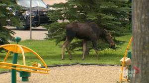 Moose tranquilized, captured in northwest Calgary neighbourhood