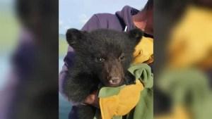 Whale watchers rescue orphaned bear cub near Tofino