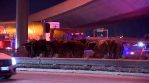 Cows turned loose on Highway 401 in Mississauga after crash involving cattle carrier