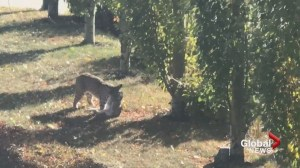 Bobcat sighting causes concern in northwest Calgary