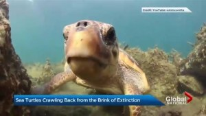 Sea turtles crawling back from the brink of extinction