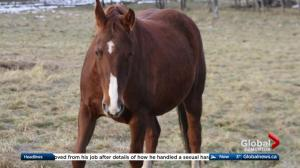 6 horses stolen from central Alberta ranch found safe