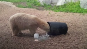 Hudson and Humphrey the polar bears leaving Assiniboine Park Zoo