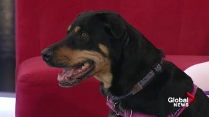 Adopt a Pet: Callie the Rottweiler mix