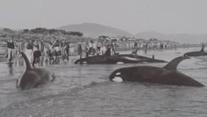 B.C. researchers studying unique killer whale