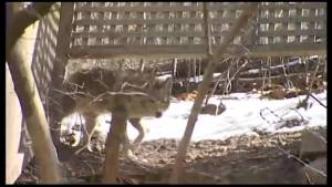 Coyote sightings on the rise in Peterborough city limits