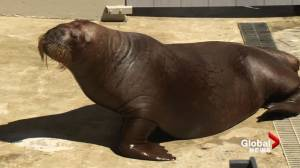 Meet Balzak and Lakina the walruses, Vancouver Aquarium's newest residents.