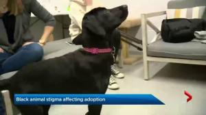 Stigma surrounding black animals affecting adoption