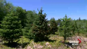About half of all Christmas trees growing in N.S. damaged due to freeze