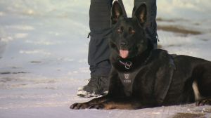 Sniffing out Crime: Fewer working female police service dogs than male in Canada