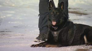 Sniffing out crime: why there are fewer female police dogs than male in Canada