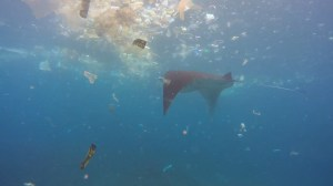 'Heartbreaking' video captures manta rays swimming through trash in search of food