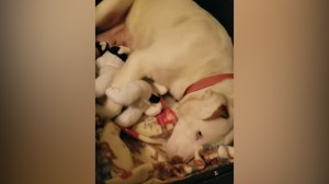 Heartbreaking video shows dog taking solace in stuffed animals after losing puppies