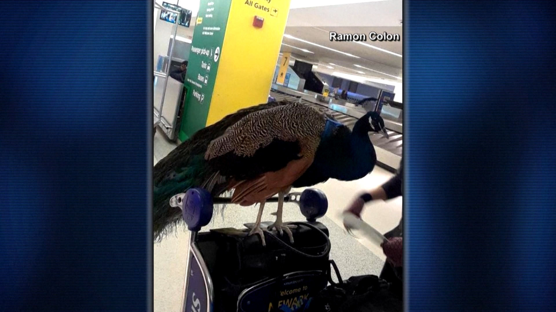 Dexter the emotional support peacock barred from flying