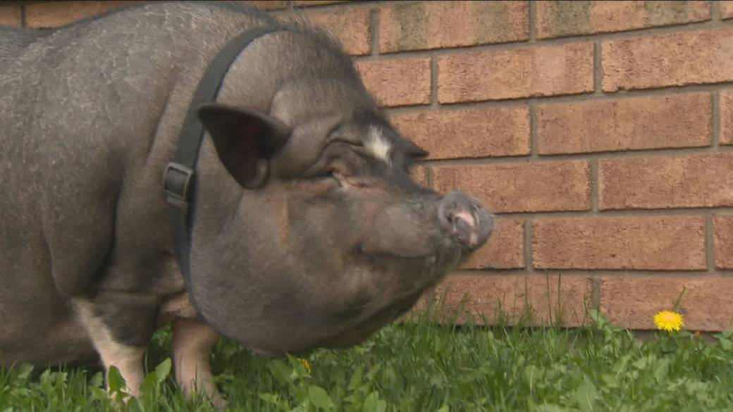 Cambridge Woman Gets To Keep Her Pet Pot Bellied Pig For Now Kitchener Globalnews Ca