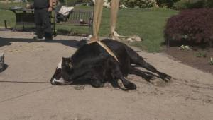 B.C. steer rescued by firefighters after falling into fish pond