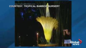 'Corpse Flower' bloom draws hundreds of tourists to Florida town