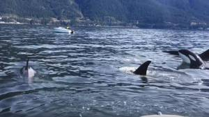 Pod of hungry orcas hunt for sea lion between boats