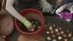 GardenWorks – Planting Bulbs