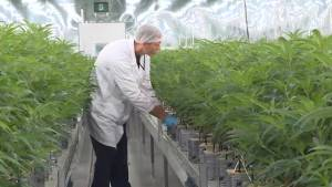 VIVO expansion in Napanee more than doubles cannabis production (02:09)