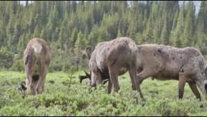 Manitoba Woodland Caribou Recovery Strategy