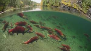 SFU CSI work is bad news for Skeena salmon run