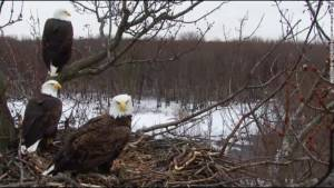 Anthony Kaduck visits the Morning Show to discuss the increase in the Bald Eagle population
