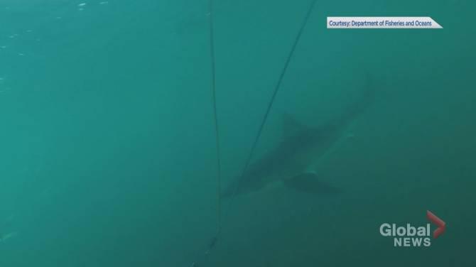 First shark of the season tracked near the Maritimes | Globalnews ca