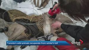 Cold winter challenges wild animals, Toronto Wildlife Centre staff