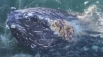 Curious humpback visits B.C. boaters