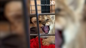 Paris police rescue lion cub found in Lamborghini on the Champs-Elysee