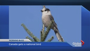 Grey Jay suggested for national bird