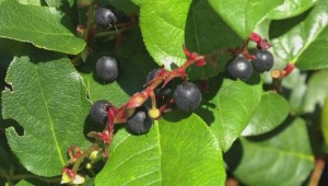 New study touts benefits of salal berries