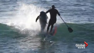 Paddle boarder body checked by dolphin in viral video from Australia