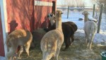 313 Farms: Meet the alpacas