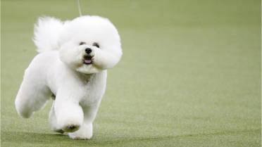 Meet Flynn, the Bichon Frise who won Best in Show at