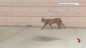 Video captures bobcat roaming in southeast Calgary neighbourhood