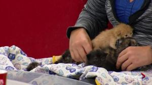SCARS 'busting at the seams,' urges people to have cats fixed