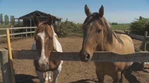 B.C. wildfire horses need help
