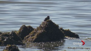 Wildlife affected by English Bay oil spill