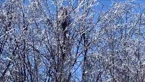 Montreal thaws out after ice storm, as video captures sounds of trees 'melting'