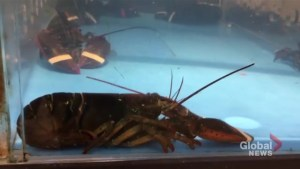 Petition to ban lobster tanks in grocery stores continues to build steam