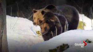 Non-hibernating bears becoming more frequent in Victoria
