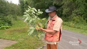 Canadian Forest Service seeking to preserve 'endangered' ash trees for future generations