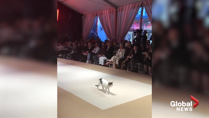 Cat struts its stuff on the runway