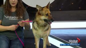 SCARS looks for new forever home for Sheeba
