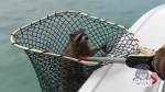 Florida police and wildlife officials rescue raccoon stranded at sea – twice