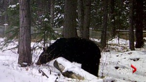 Habituated black bear put down by officers in Canmore