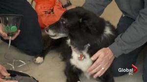 Dog demonstrates new pet oxygen mask