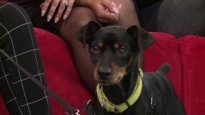 Adopt a Pet: Max the Miniature Pinscher